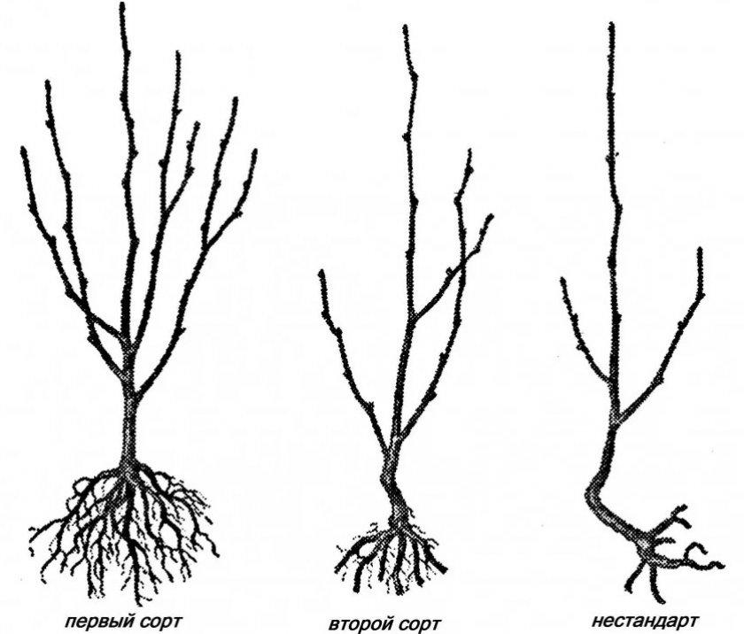 Выбор хорошего саженца плодородного дерева