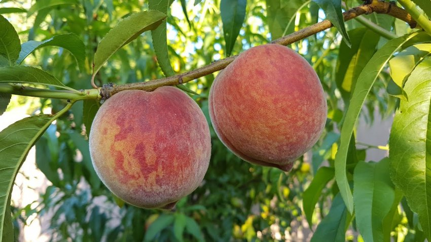 Персик сорта Кондор