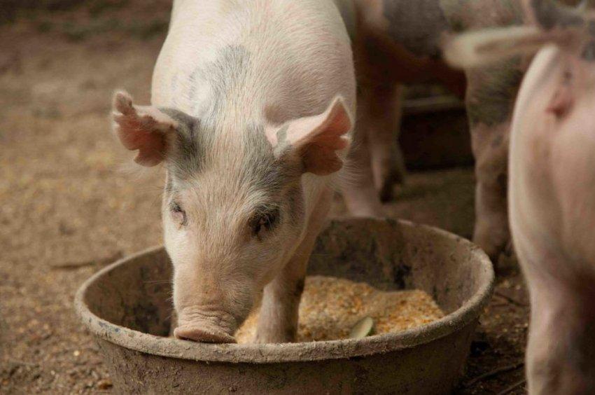 Свиньи кушают