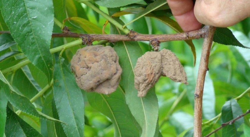 Монилиоз персика