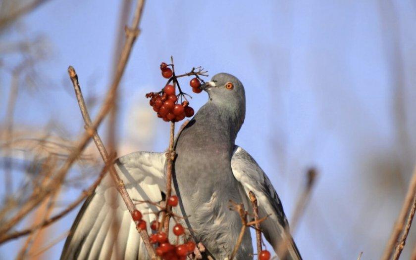 Питание голубей зимой