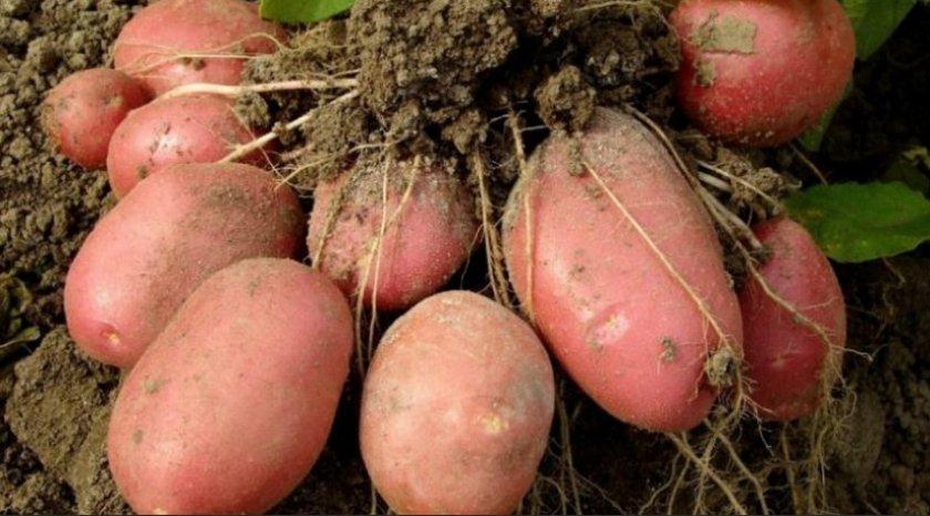 Картофель Алёна