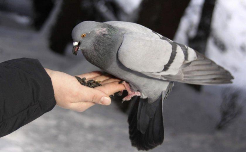 Питание голубя