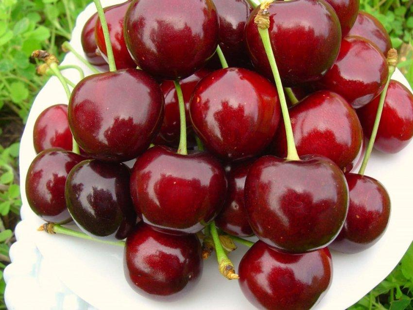 Плоды черешни сорта Талисман
