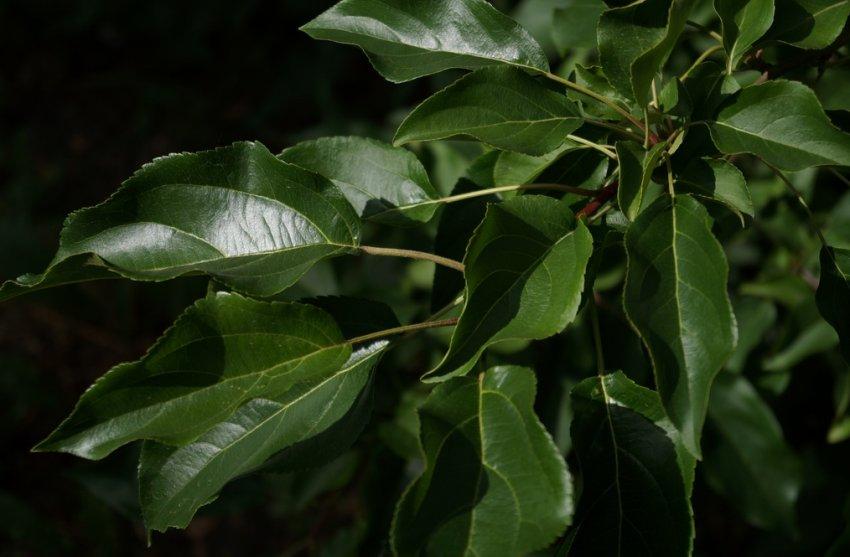 Яблочные листья