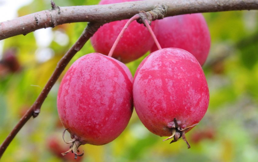 Плоды Райской яблони