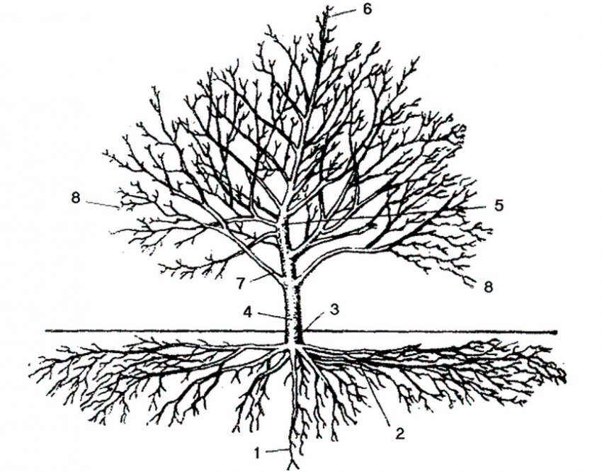 Строение плодового дерева