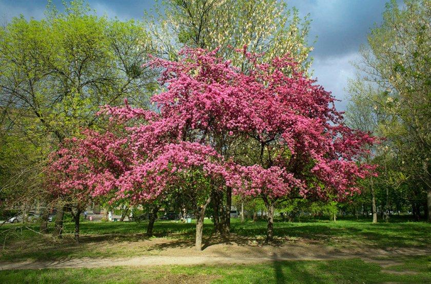 Цветение Райской яблони