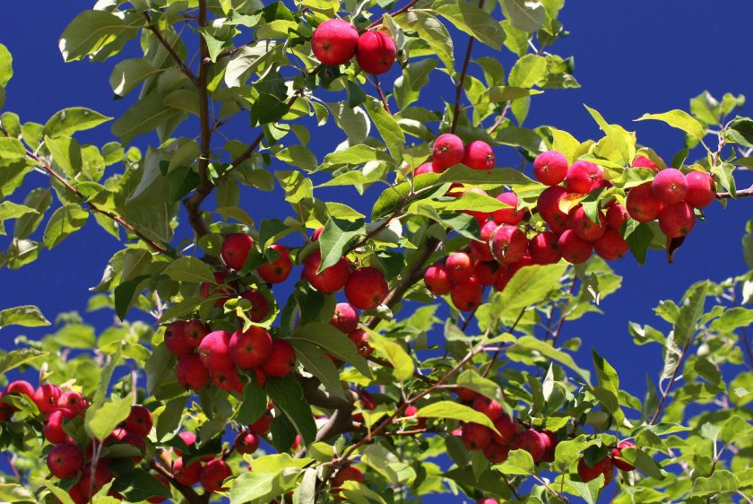 Выращивание Райской яблони