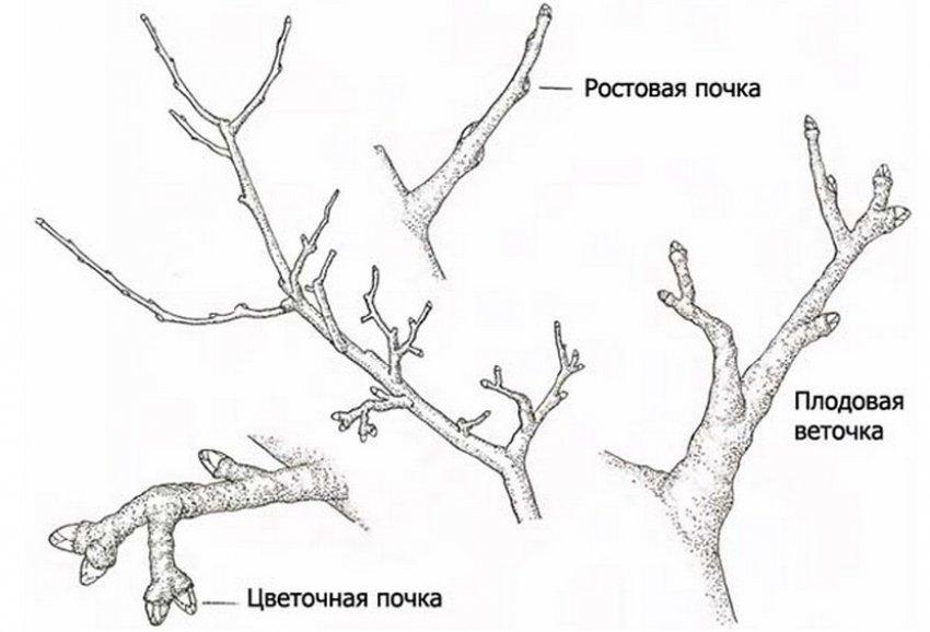 Схема ветви дерева