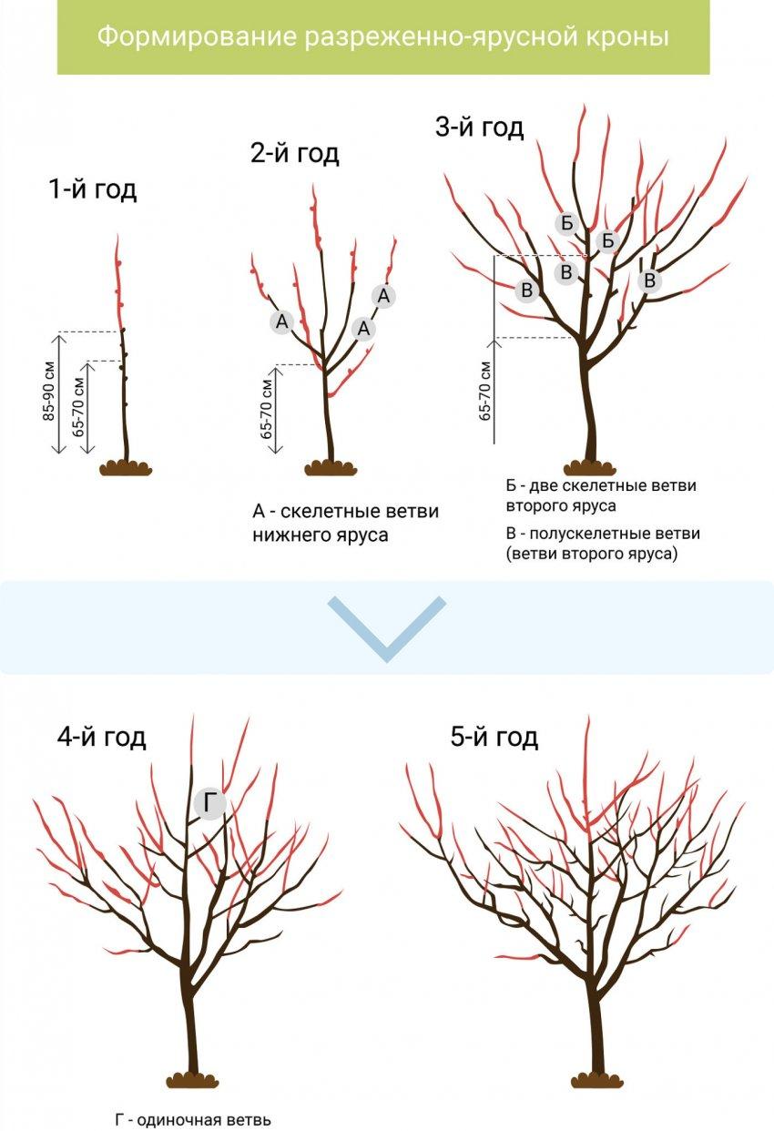 Схема правильного обрезания дерева