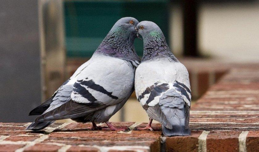 Как спариваются голуби