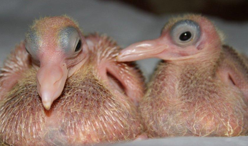 как рожает голубь