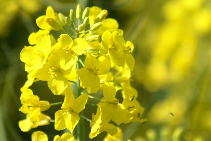 Во Франции из-за риска ГМО было уничтожено 18 тысяч гектаров посевов рапса