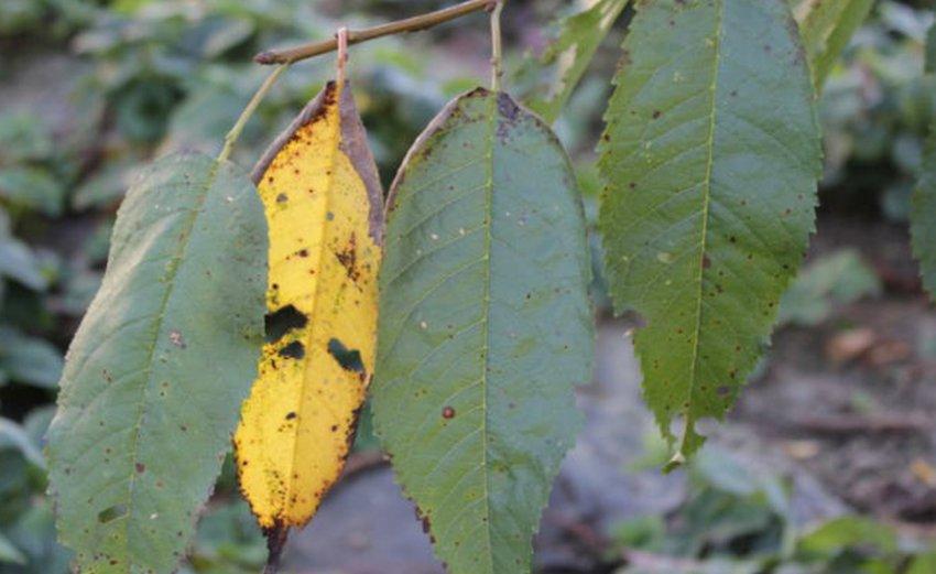 Коккомикоз на листьях черешни