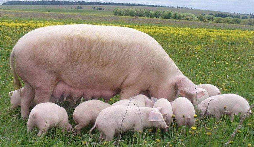 Размножение свиней