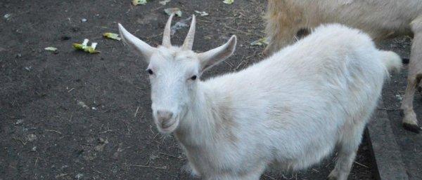 Зааненские козы описание