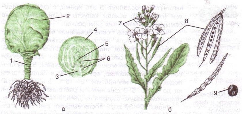 Строение капусты