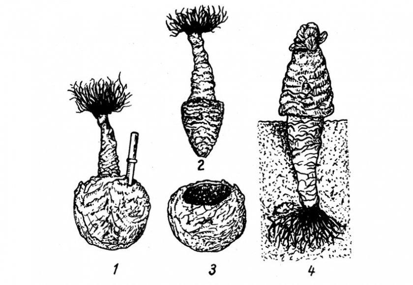 Выращивание семян капусты