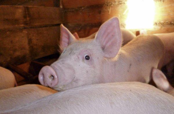 Крупная белая порода свиней: описание и характеристика, содержание и разведение