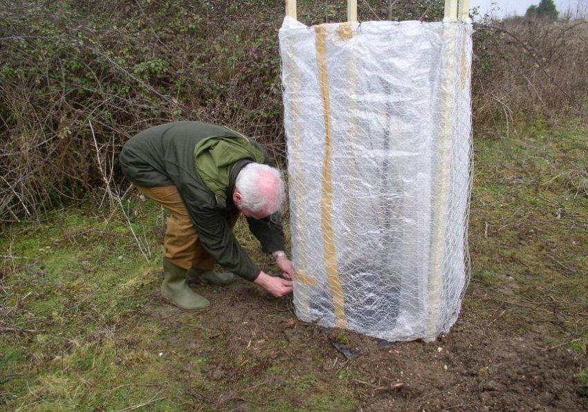 Подготовка черешни к зимовке
