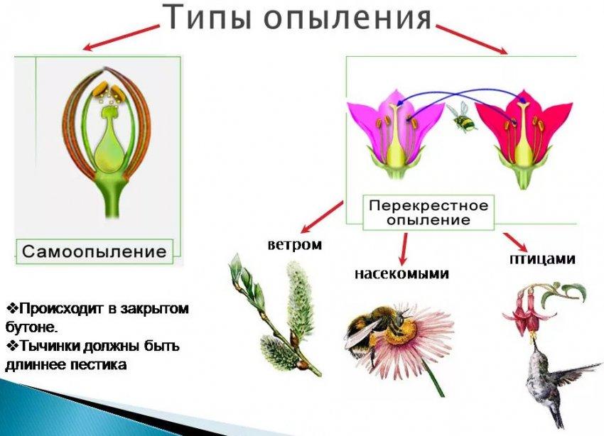 Процесс опыления цветка