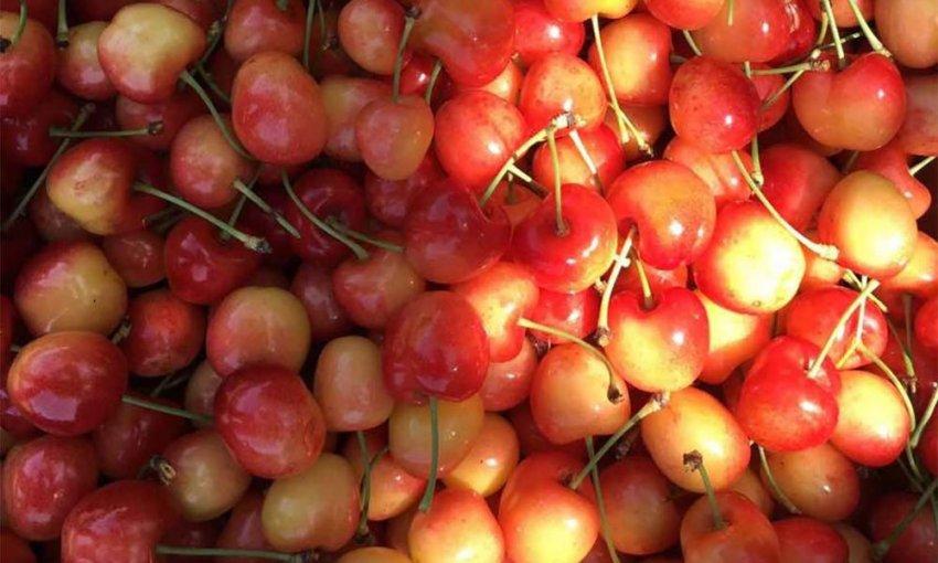 Урожай черешни Франц Иосиф