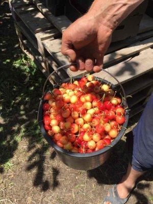 Собранный урожай черешни Франц Иосиф