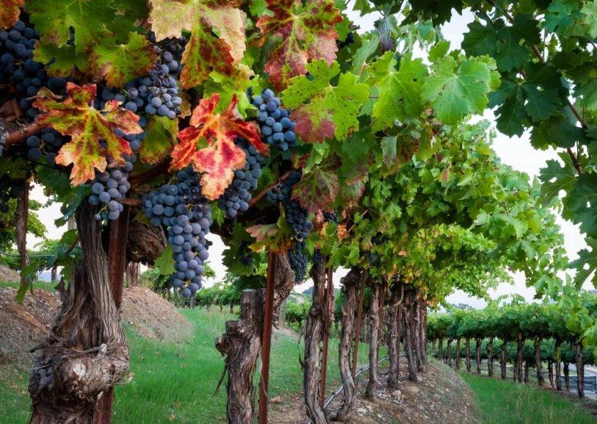 С начала года в России заложили более 1700 га молодых виноградников