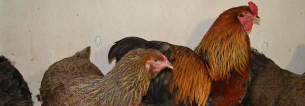 Порода кур Брама — как правильно ухаживать и кормить цыплят