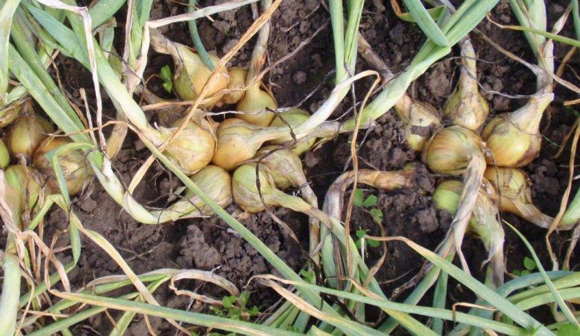 Многогнёздность луковиц