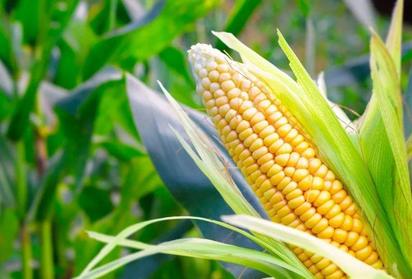 Украина экспортирует всё больше кукурузы