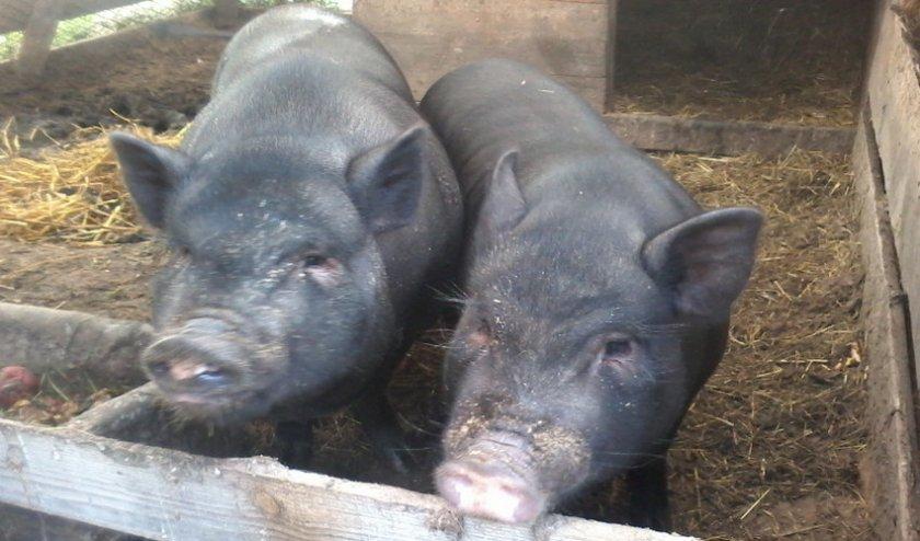 Вислобрюхая вьетнамская свинья