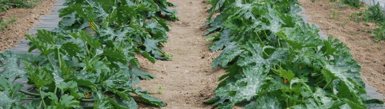 выращивают ли кабачки в теплице