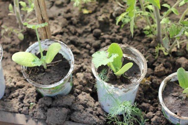 Как сажать семена кабачков