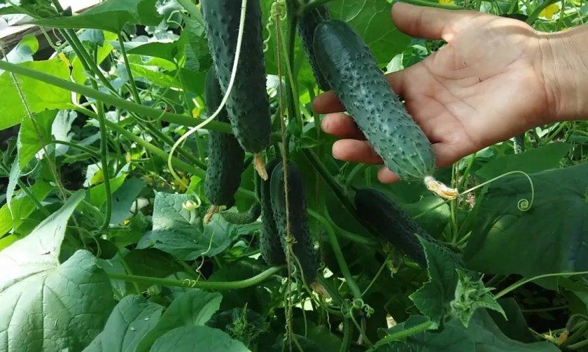 На украинский рынок поступили огурцы местного выращивания из летних теплиц