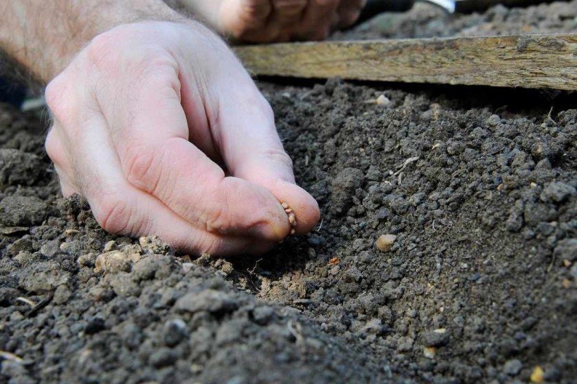 Посев семян редиса в открытый грунт