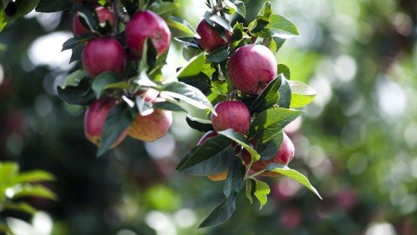 Как вырастить яблоню из ветки: как сделать саженец, можно ли вырастить в домашних условиях