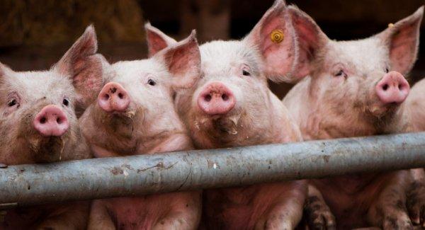 Вес поросят и свиней разных пород по месяцам — таблицы