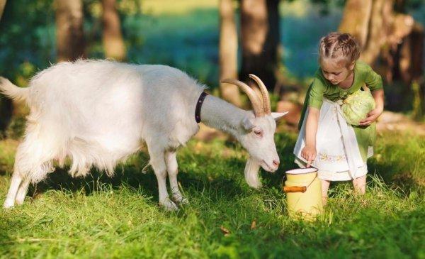Парное козье молоко польза и вред