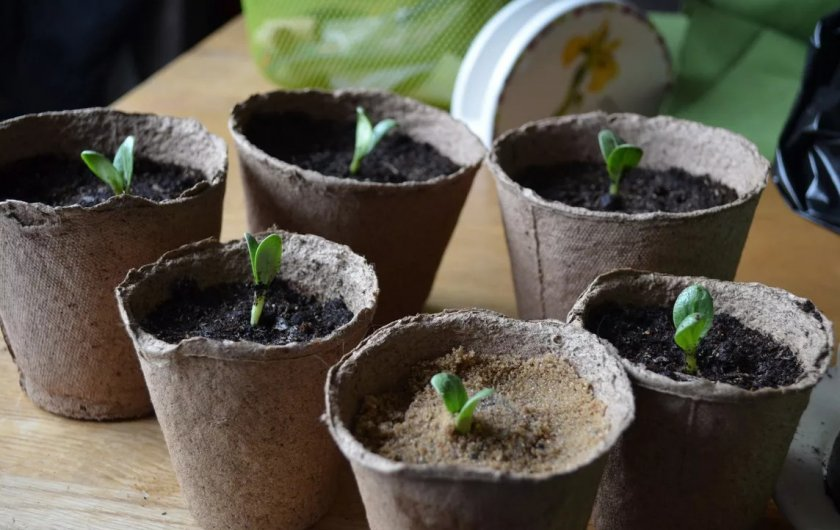Прорастание семян дыни в торфяных горшках