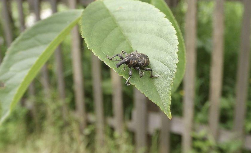 Долгоносик на листьях черешни