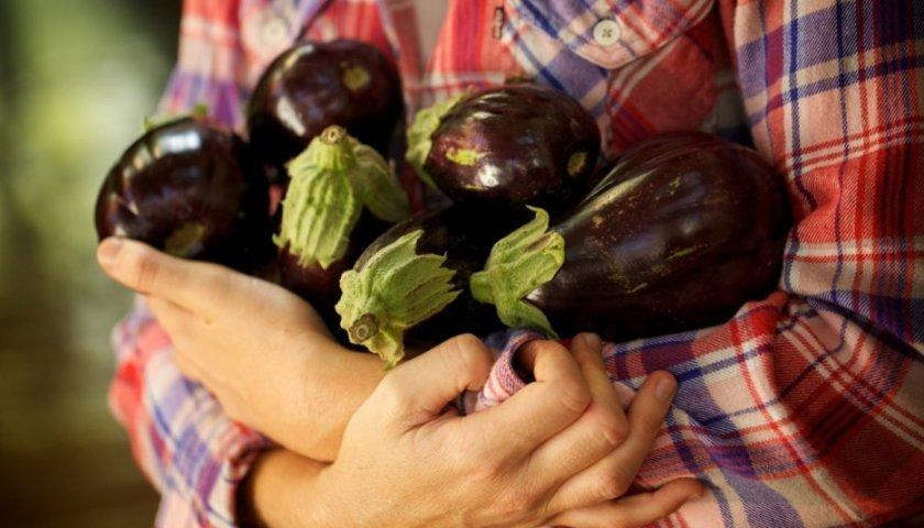 Сбор урожая баклажанов в теплице