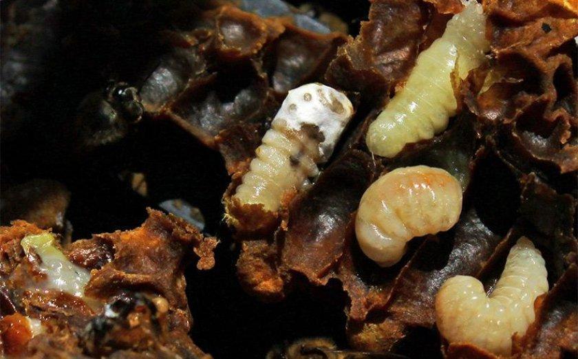 Заражение пчёл инфекционными болезнями