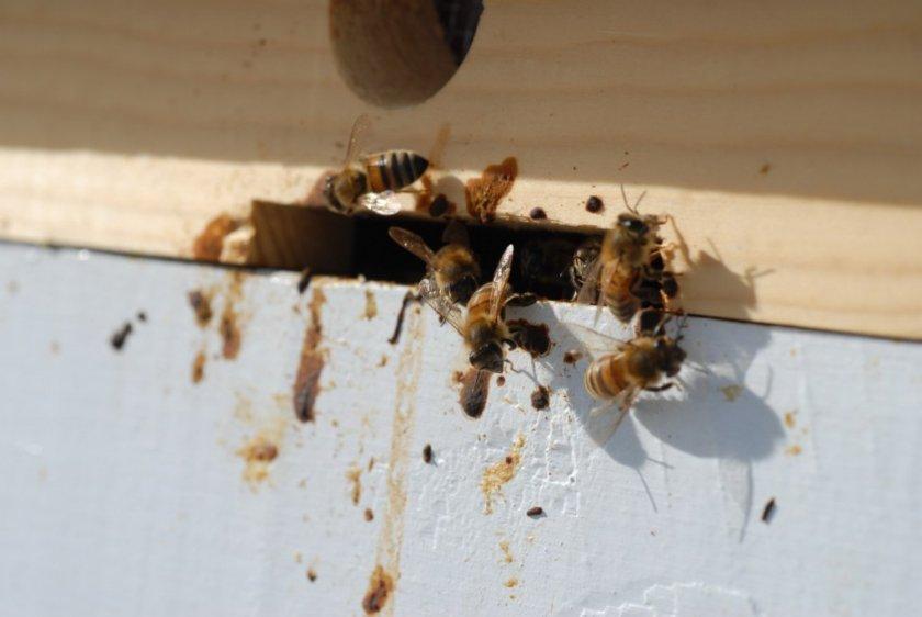 Понос у пчёл