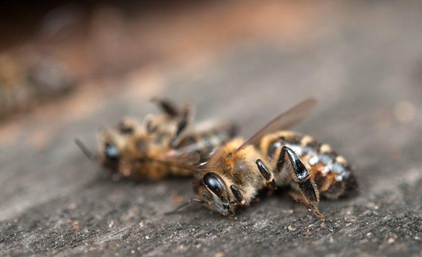 Умершая пчела