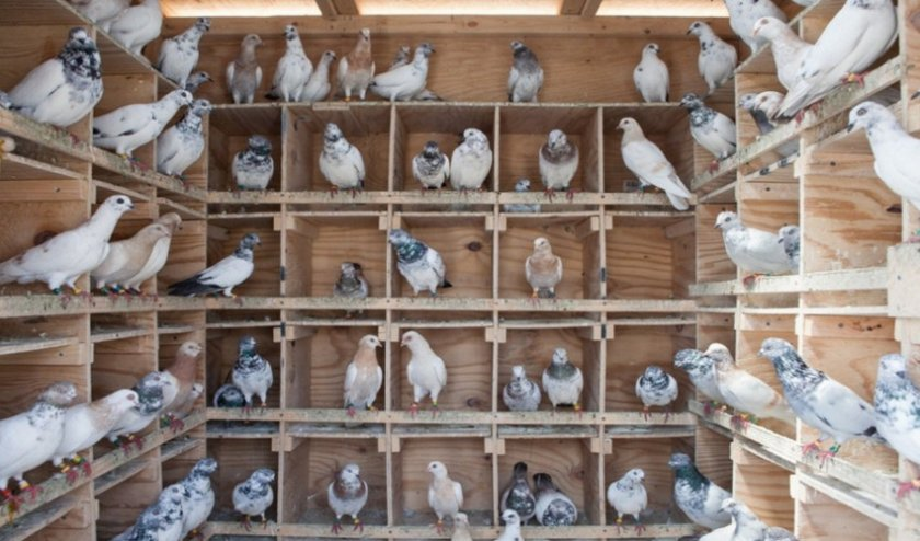 Сальмонеллез у голубей