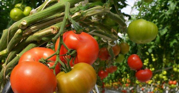 Грамотный подход при посадке помидоров в теплицу