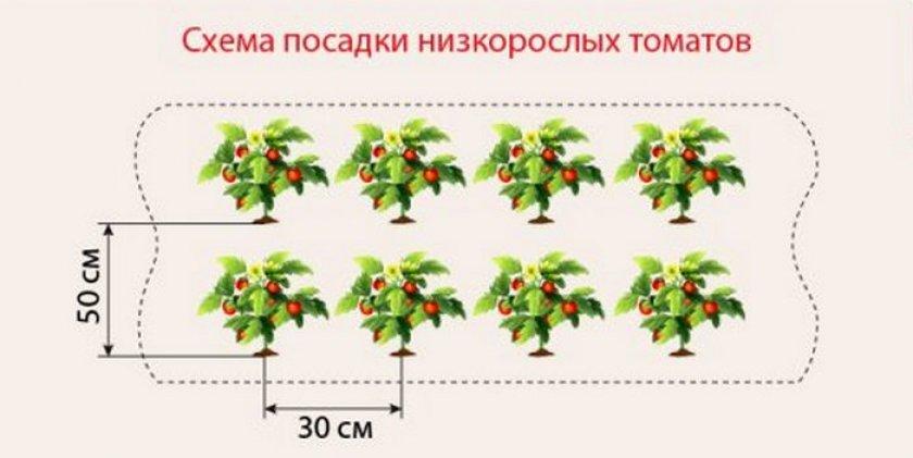 Расстояние при посадке низкорослых томатов в теплице