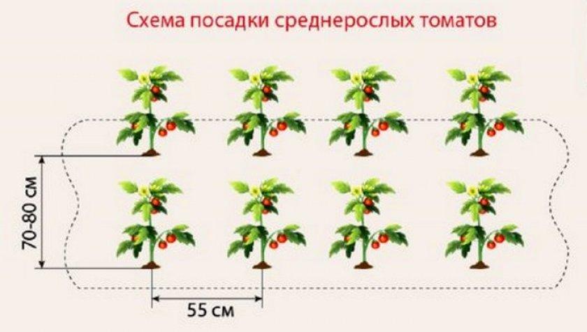 Расстояние при посадке среднерослых томатов в теплице